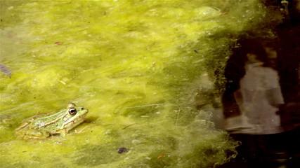 Common frog, sitting in garden pond edge