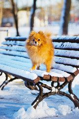 adorable spitz dog on a bench