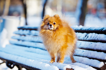 adorable red spitz dog standing on a snowy bench