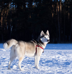 Siberian Husky in winter environment.