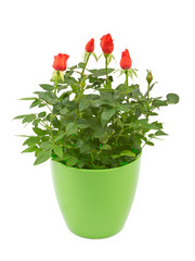 Red rose flowers in a plastic pot isolated on white.