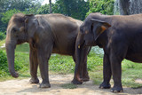 Two Indian elephant