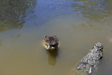 couple of crocodiles