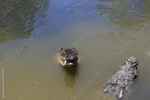 Foto op Plexiglas Krokodil couple of crocodiles