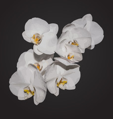 Romantic beautiful orchids blossom, isolated on grey background