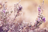 Fototapety Frozen heather flower