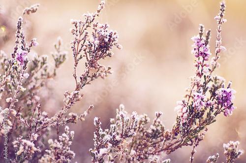 Papiers peints Ciel Frozen heather flower
