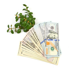 Hundred dollar bills and a branch of green bushes on a white bac