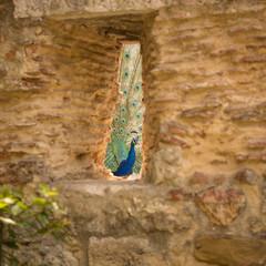 Peacock through a hole