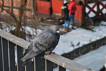 Pigeon, Poland, Bydgoszcz