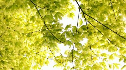 Grünweisser Ahorn im Sonnenlicht