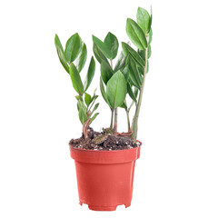 Zamioculcas in a pot on white background in full size
