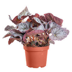 Begonia in a pot on white background in full size
