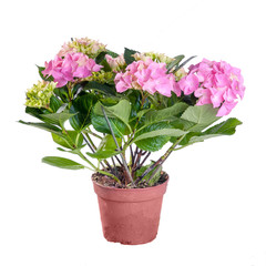 Hydrangea pink blooming in a pot on white background