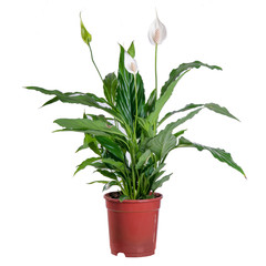 Spathiphyllum blooming on a white background in a pot