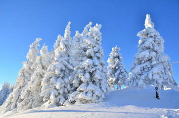 Pine trees covered by snow on mountain in winter season