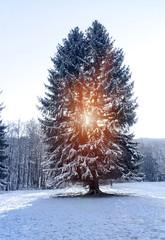 Zwillingsbaum Tannenbaum im Schnee mit Gegenlicht