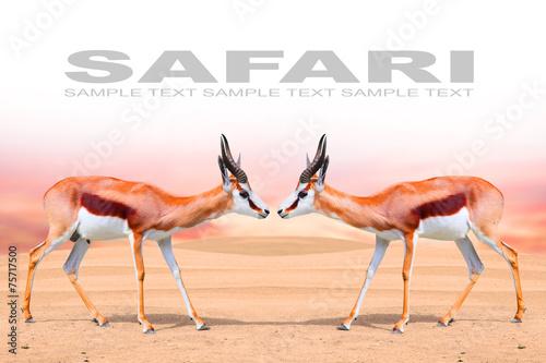 Papiers peints Antilope Two Springbok Antelope (Antidorcas marsupialis).