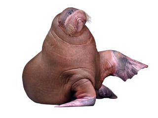 Big Walrus isolated on white background