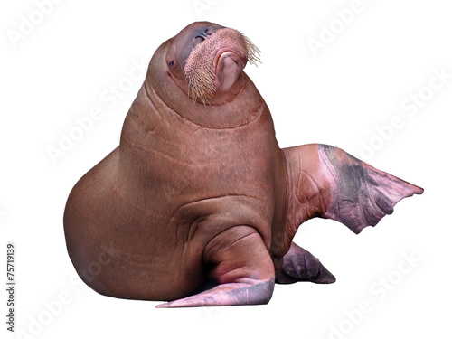 Fotobehang Leeuw Big Walrus isolated on white background