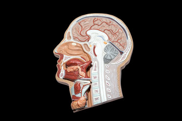 Model of human head and neck for study isolated