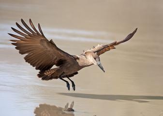 hamerkop in flight.
