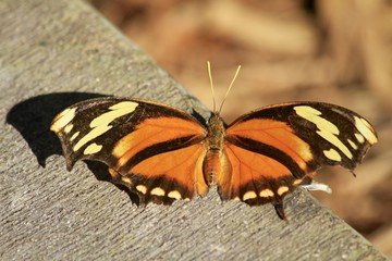 Autum Leaf butterfly