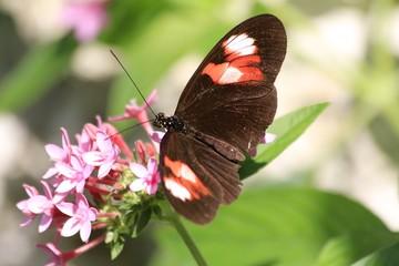Heliconius melpomene - Postman Butterfly