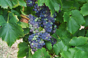 purple red grapes with green leaves on the vine