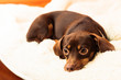 canvas print picture - mixed dog relaxing on bed at home