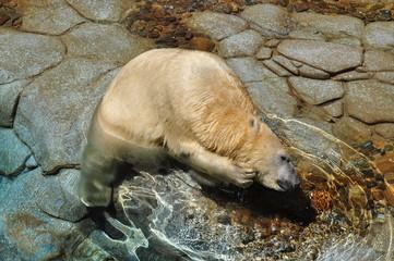 Polar bear scratching his neck