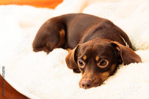 canvas print picture mixed dog relaxing on bed at home