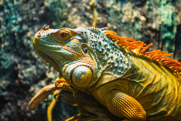 Close-up of a multi-colored male Iguana