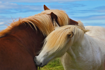 Two horses with white manes