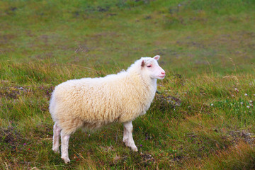 White Icelandic sheep