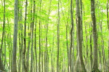 Beech forest, Bijinbayashi, Niigata