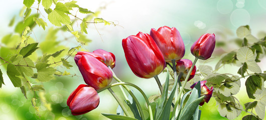 Garden red tulips.Spring.May