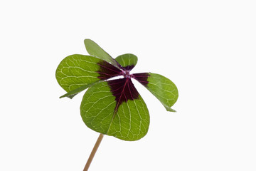 Vierklee, Klee (Trifolium), Glücksklee