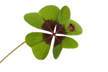 Vierklee mit Marienkäfer, Klee (Trifolium), Glücksklee