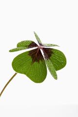 Vierklee, Klee (Trifolium), Glücksklee, Tautropfen