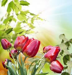 Red tulips.Garden flowers