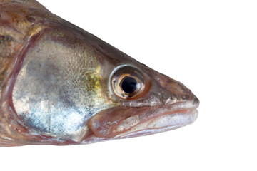fish head  pike perch isolated white background clipping path