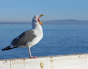 Seagull screaming on blue ocean background