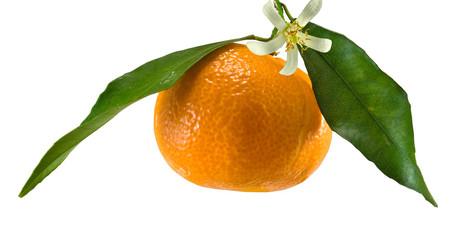 tangerines on a white background closeup