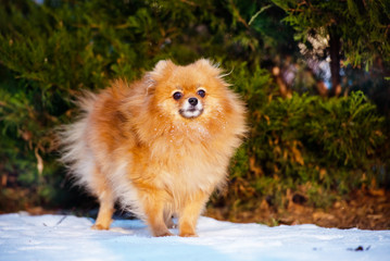 red pomeranian spitz dog outdoors in winter