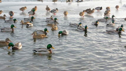 ducks on the river closeup