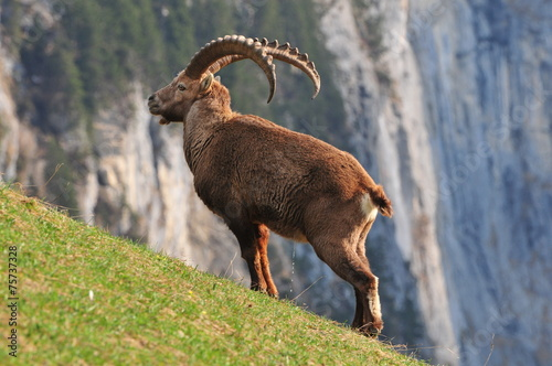 canvas print picture Steinbock