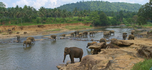 View on big indian  elephants in river exotic asia park in Sri L
