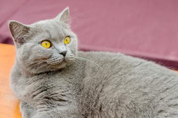 振り向くぽっちゃり猫