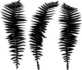 set of three black fern leaves silhouettes on white
